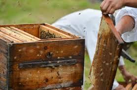Приморские пчеловоды призывают сохранить липовые деревья для развития пчеловодства в промышленных масштабах